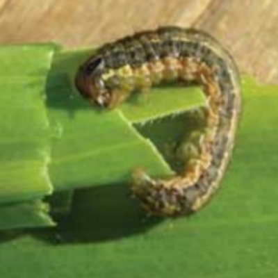 Armyworms – Keep Up A Good Defense
