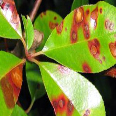 Photinia Shrubs and Entomosporium Disease