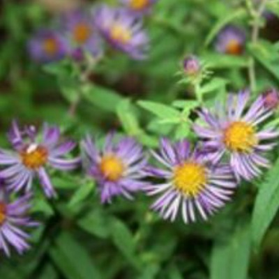 Battling Asters in Your Lawn