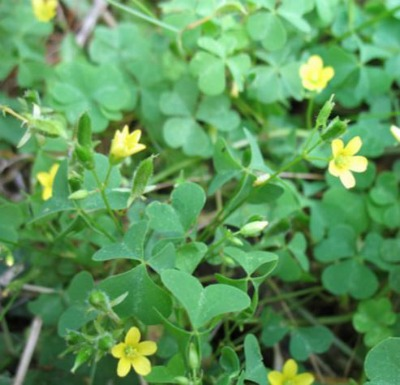 Oxalis in North Texas