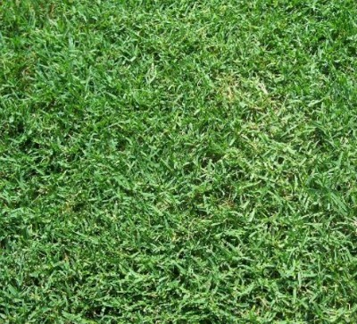 Common Bermuda Grass in North Texas ID and Care