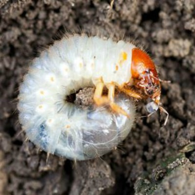 White Grubs: A Common Lawn Infestation
