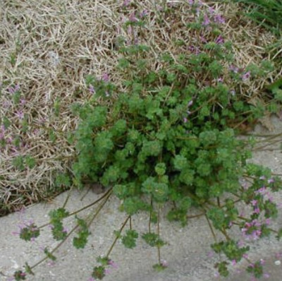 Eight Worst Weeds in North Texas - Green Top Lawn Care