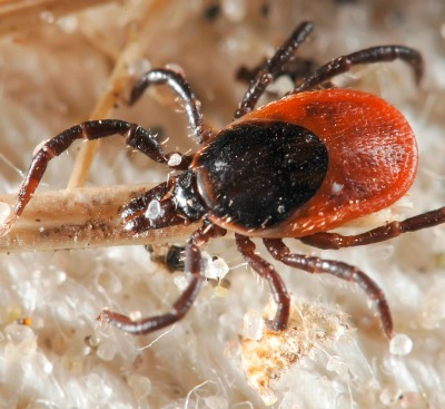 Tick Diseases in North Texas