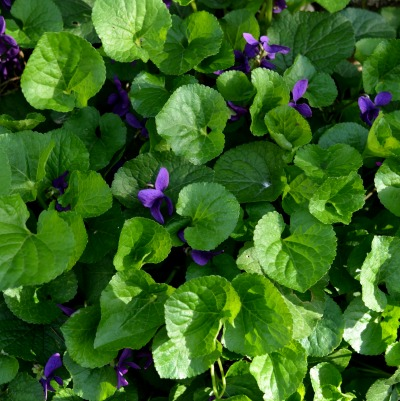 How To Control Wild Violets
