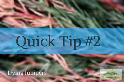 Quick Tip #2: Dying Junipers
