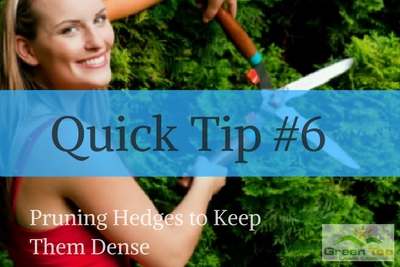 Quick Tip #6: Pruning Hedges to Keep Them Dense