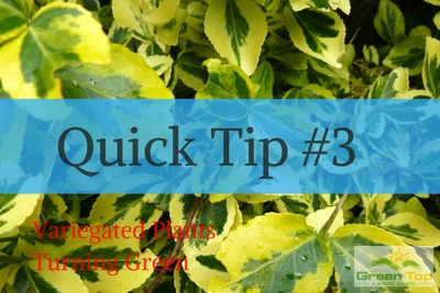 Quick Tip #3: Variegated Plants Turning Green