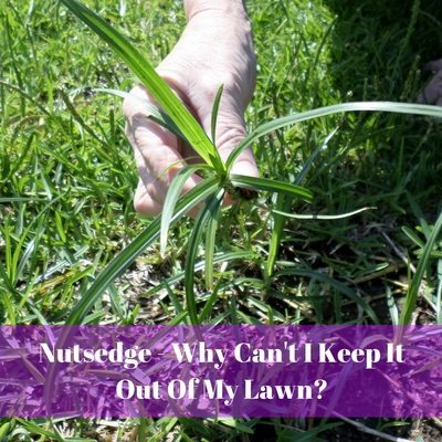 Nutsedge – Why Can't I Keep It Out Of My Lawn?