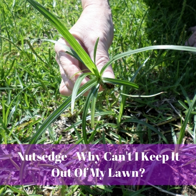 Nutsedge - Why Can't I Keep It Out Of My Lawn?