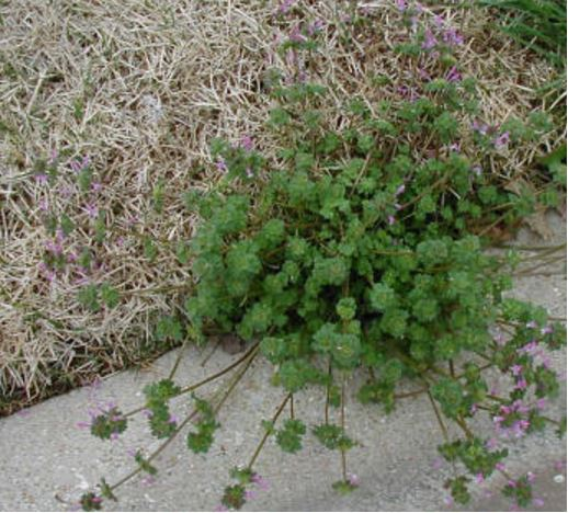 Winter Weeds In North East Texas - Green Top Lawn Care